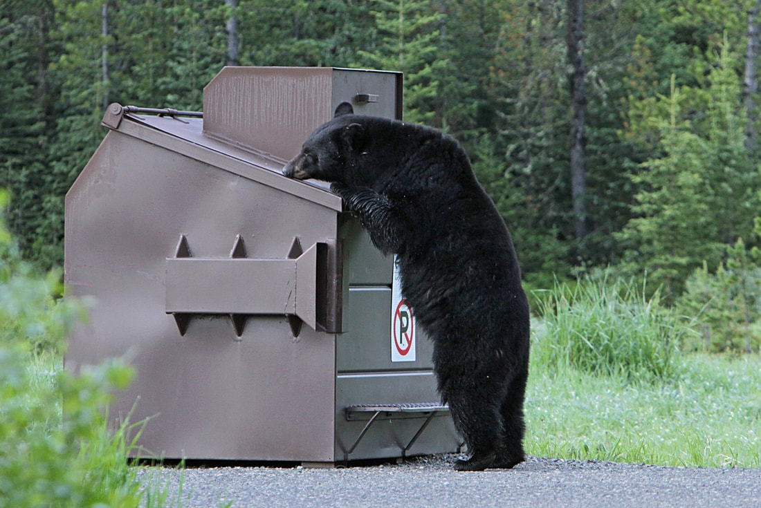 A large black bear rummaging through the trash